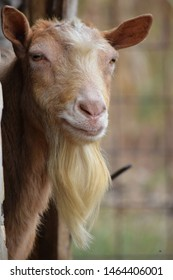 A red goat with horns cut off.