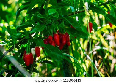 Red goji berries in green foliage on a tree (Lycium barbarum)