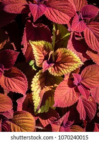 Red and Gold Coleus