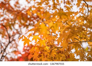 Red and Gold Maple Leaves against the sky on a blurred autumn foliage background at Koko-en Garden in Himeji, Japan.