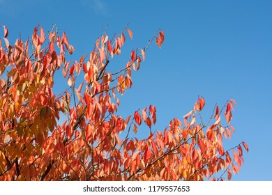 Red and golden leaves in a tree against blue sky with copy space.