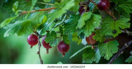 Red Gooseberries (ribes) growing on a bush