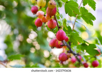 Red gooseberry berries. Many berries ripe red gooseberries on a branch in the garden. Horizontal photography