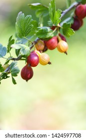 Red gooseberry berries. Many berries ripe red gooseberries on a branch in the garden. Vertical photography