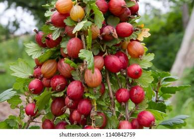 Red gooseberry in the summer garden