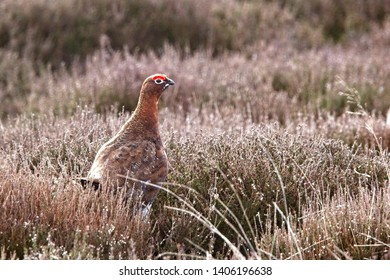 Red Gouse (Lagopus lagopus scotica), male on a heather moor, North York Moors National Park, Yorkshire, England, UK.