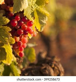 red grape grapevine
