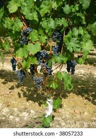 red grape tree