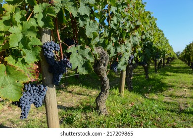 Red grape from the vine in Bordeaux vineyard