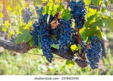 ฺBunch of red grape at vine. ripe purple bunch at Napa Valley San francisco. outdoor harvesting season concept.