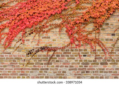 Red grape vine (Vitis sp.) branches climb brick wall in old town of Werder (Havel) in Potsdam/Brandenburg, Germany