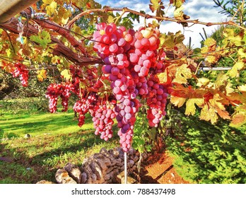 Red grape in Vineyard under the sun in countryside, Puglia, Italy