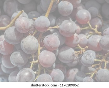 Red grape (Vitis vinifera) fruits, healthy vegetarian food, delicate soft faded tone useful as background