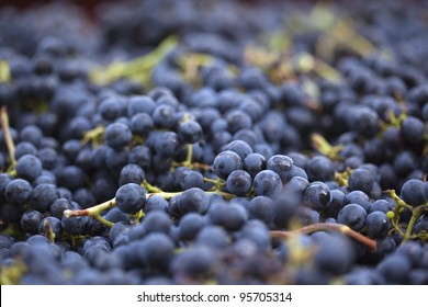 Red grapes during harvest
