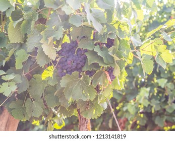 Red grapes growing in Setubal wine region, Portugal.