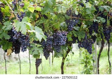 Red grapes in a Italian vineyard - Corvina - Valpolicella (Veneto)