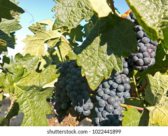 Red grapes on grapevine just before harvesting. La Rioja is both a province and an autonomous region located in the North of Spain.