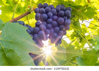 Red grapes on the vine in autumn