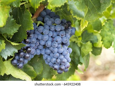 Red grapes on the vine in France
