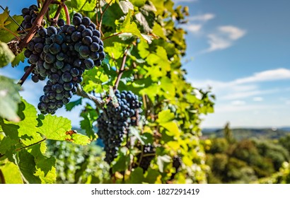Red Grapes on the Vine at Styrian Vineyard. Harvest season in Autumn, selective focus background