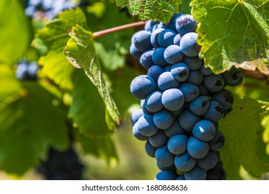 Red grapes on a vine in a vineyard in Mendoza on a sunny day