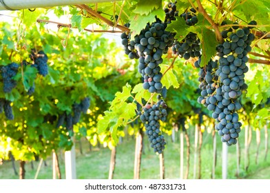 Red grapes ready to be picked up and will become a tasty Valpolicella or Amarone tasty wine