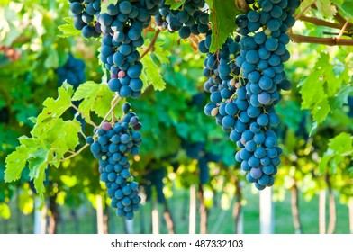 Red grapes ready to be picked up and will become a tasty wine like Valpolicella, Amarone or Recioto