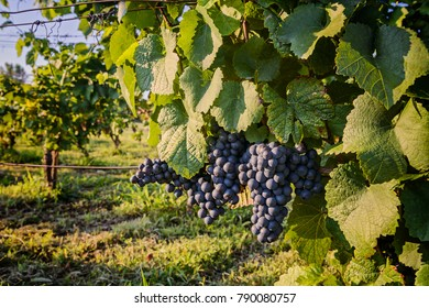 Red grapes in the vineyard, Balaton wine region, Hungary