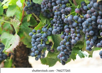 Red grapevine on tree with branches and leaves of French agriculture vineyard