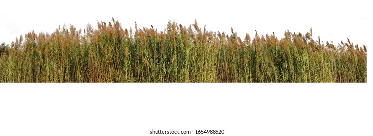 The Red grass. The Giant reed.The Great reed.Bulrush, Cattail, Cat-tail, Elephant grass, Flag, Narrow-leaved Cat-tail, Narrowleaf cattail, Lesser reedmace, Reedmace tule , isolate on white background