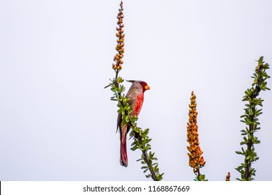 A red and gray bird, a male pyrrhuloxia or desert cardinal on an ocotillo branch covered in red/orange flowers and green leaves. Photographed in Pima Canyon near Tucson, Arizona.