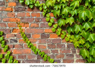 Red and gray brick wall with climbing ivy and vine leafs
