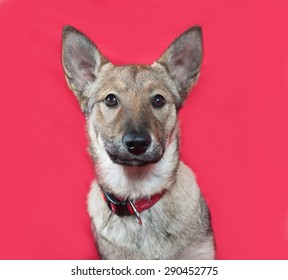 Red and gray puppy sitting on red background