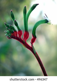 Red and Green Australian Kangaroo Paw - Western Australia's floral emblem