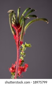 red and green australian native flower - kangaroo paw