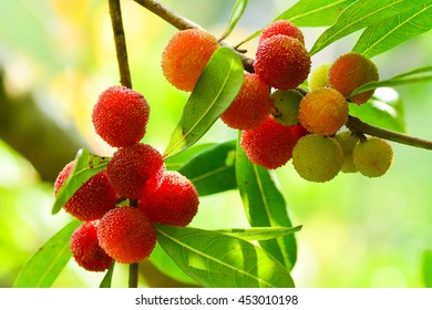 Red and green Bayberry fruits (MYRICA tree)