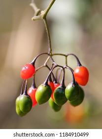Red and green berries of Solanum dulcamara or bittersweet nightshade