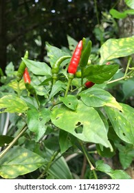 Red and green chili organic in the garden background