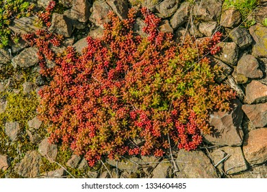 Red and green colored evergreen plant, white stonecrop, known as a coral carpet, growing on rocks on a spring sunny day, top view