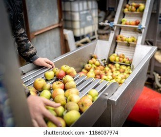 Red and green english apples are loaded into the first stage of the cider press, where they are washed.