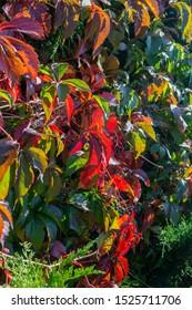 Red and green leafs of Parthenocissus quinquefolia