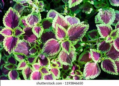 Red and green leaves of the coleus plant, Houseplants Coleus scutellarioides Selling in the Market
