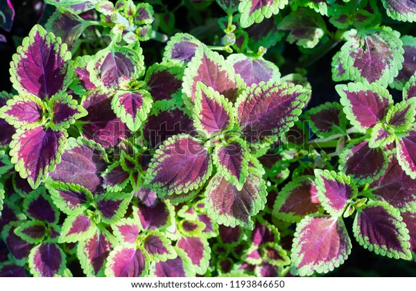 Red Green Leaves Coleus Plant Houseplants Stock Photo (Edit ... on house plants and foliage, house plant with striped leaves, rainbow colorful leaves, greenhouse plants with large leaves, house plants that love water, house plants with flowers, house plants for northern exposure, house plants with butterflies, house plant container garden, house plant identification, house plants with seed pods, house plant with orange leaves, house plants with long stems, house plants with fruit, house plants with berries, tropical plants with red leaves, purple and green striped plant with leaves, tropical plant large leaves, house plant with spiky leaves, house plants that are poisonous to cats,