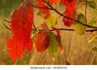 Red and green leaves on the tree