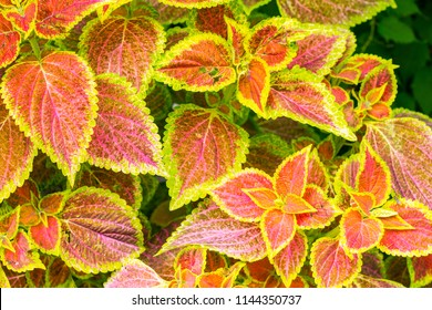 Red and green leaves of ornamental plant coleus for background