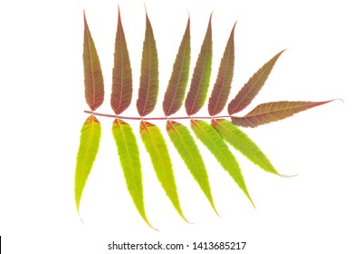 Red and green leaves ow smoouth sumac isolated on white background