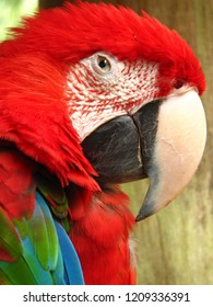 The red and green macaw (Ara chloropterus), also known as the green-winged macaw is a large mostly red macaw of the genus Ara.This is the largest of the genus Ara, widespread in the forests and woodla