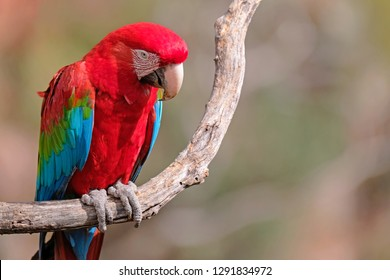 Red And Green Macaw, Ara Chloropterus, Buraco Das Araras, near Jardim and Bonito, Pantanal, Mato Grosso do Sul, Brazil, South America