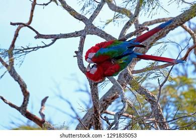 Red And Green Macaws, Ara Chloropterus, Buraco Das Araras, near Jardim and Bonito, Pantanal, Mato Grosso do Sul, Brazil, South America
