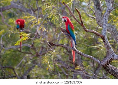 Red And Green Macaws, Ara Chloropterus, Buraco Das Araras, near Jardim and Bonito, Pantanal, Mato Grosso do Sul, Brazil, South America
